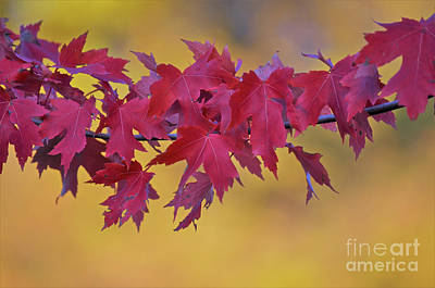 Photograph - Flamboyant Maple by Deb Halloran
