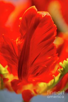 Photograph - Flamboyant Parrot Tulip Flower by Heiko Koehrer-Wagner