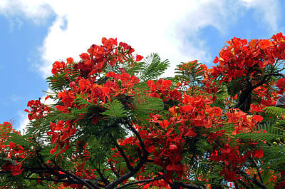 Flamboyant Red Flowering Tree Art Print by Lorrie Morrison