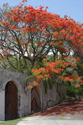 Flamboyant Tree In Dominica Art Print by Tropical Ties Dominica