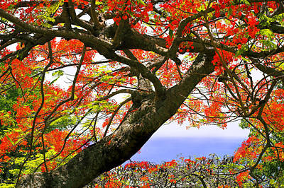 Flamboyant Trees- St Lucia Art Print by Chester Williams