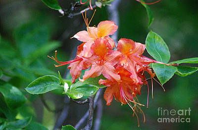 Photograph - Flame Azalea 20130506_326 by Tina Hopkins