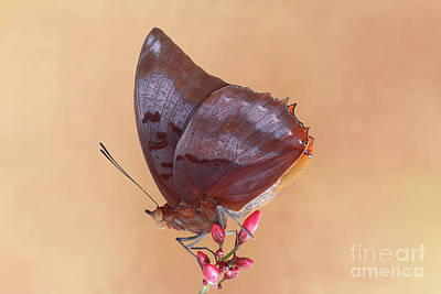 Photograph - Flame-bordered Charaxes Butterfly #4 V2 by Judy Whitton