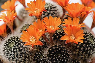 Photograph - Flame Crown Cactus - Rebutia Flavistyla by Cristina Stefan