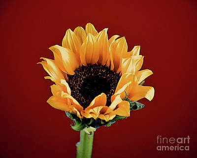 Photograph - Flame Kissed Sunshine 121817-1 by Ray Shrewsberry