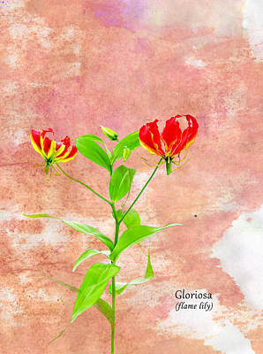 Flame Lily Art Print by Mark Rogan