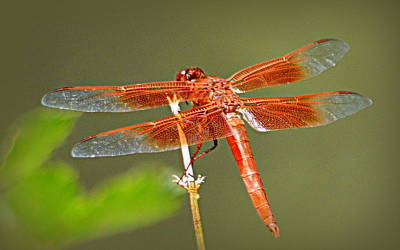 Photograph - Flame Skimmer by AJ Schibig