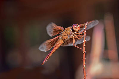 Photograph - Flame Skimmer by Dan McManus