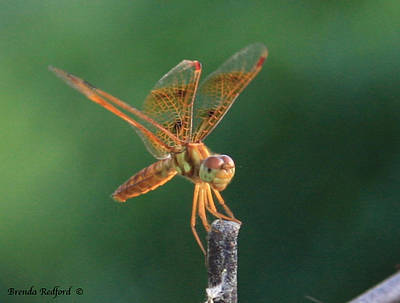 Photograph - Flame Skimmer Dragonfly by Brenda Redford