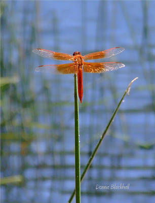 Photograph - Flame Skimmer Dragonfly by Donna Blackhall