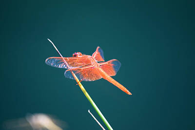 Photograph - Flame Skimmer Dragonfly  Libellula Saturata  by Frank Wilson