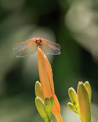 Photograph - Flame Skimmer On Daylily by Loree Johnson