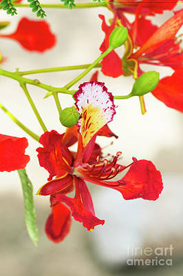 Photograph - Flame Tree Flower by Tim Gainey