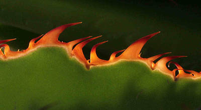 Flaming Aloe Art Print by Matt Cormons