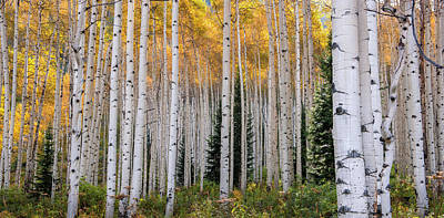 Family Crest Photograph - Flaming Aspens - Crested Butte Colorado by Thomas Schoeller