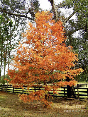 Photograph - Flaming Colored Cypress by D Hackett