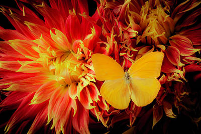 Flaming Dahlia And Yellow Butterfly Art Print by Garry Gay