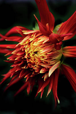 Photograph - Flaming Dahlia  by Jessica Jenney