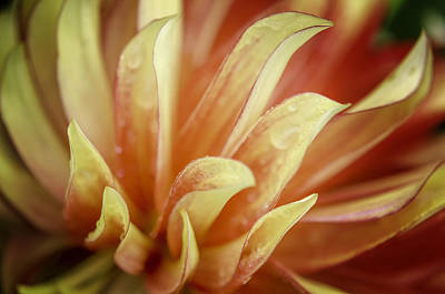Photograph - Flaming Dahlia by Mary Angelini
