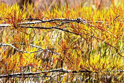 Photograph - Flaming Fall Cypress Branches by Carol Groenen