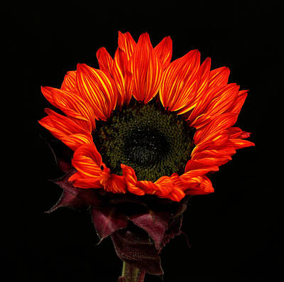 Art Print featuring the photograph Flaming Flower by Judy Vincent