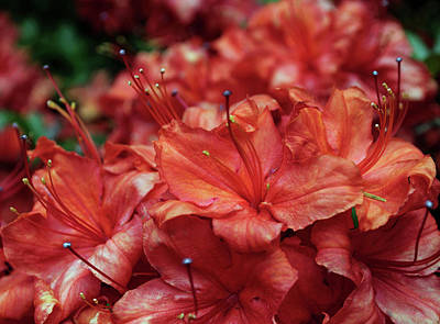 Photograph - Flaming Orange Azaleas by Tikvah's Hope