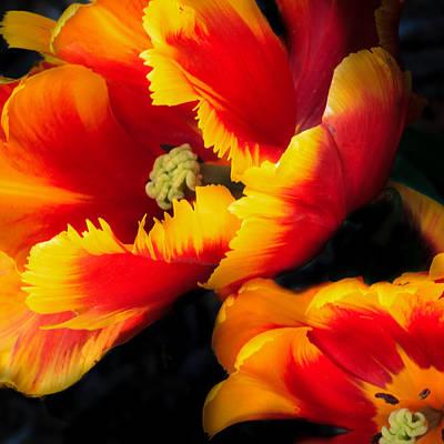 Photograph - Flaming Parrot Tulips by Joni Eskridge
