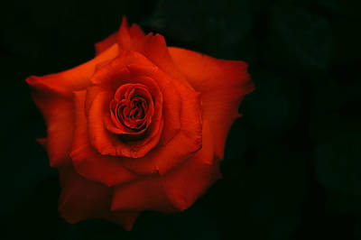 Photograph - Flaming Rose by Jenny Rainbow