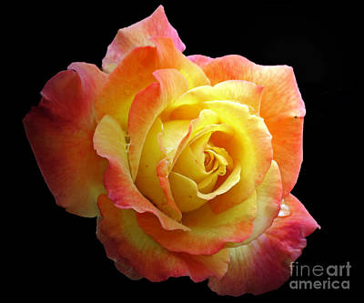 Photograph - Flaming Rose On Black by Chris Anderson