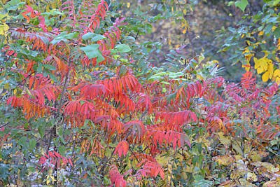 Photograph - Flaming Sumac Leaves by rd Erickson