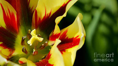 Photograph - Flaming Tulip by Sue Harper