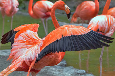 Photograph - Flamingo 1 by Nadia Sanowar