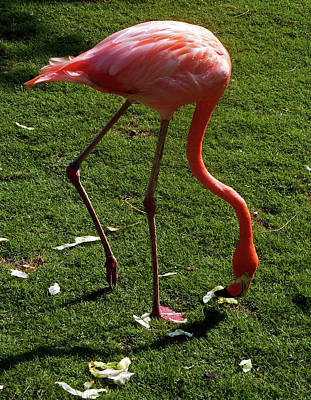 Photograph - Flamingo 1 by Ron Kandt