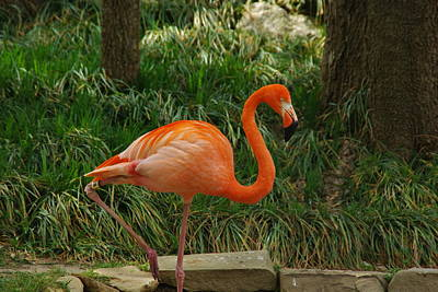 Photograph - Flamingo 2 by Robyn Stacey
