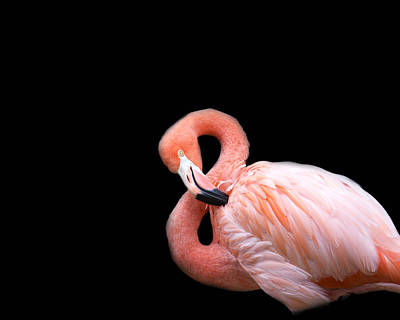 Birds Royalty Free Images - Flamingo 3 Royalty-Free Image by Rebecca Cozart