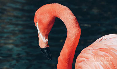 Photograph - Flamingo 5 by Andrea Anderegg