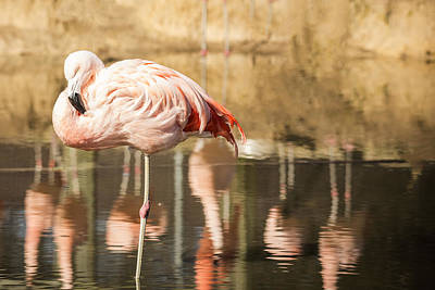 Photograph - Flamingo Amongst Reflections by Jemmy Archer