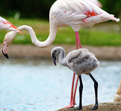 Photograph - Flamingo And Chick by Colin Rayner