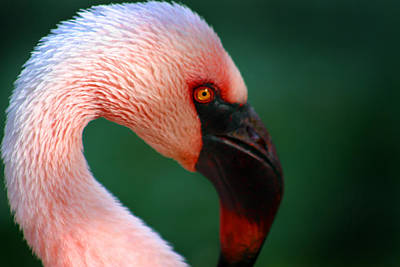 Photograph - Flamingo by Anthony Jones