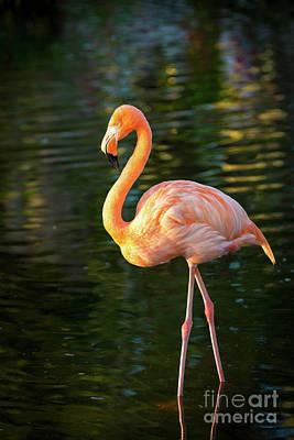 Photograph - Flamingo by Brian Jannsen