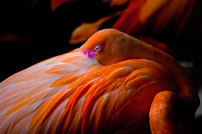 Photograph - Flamingo by Craig Perry-Ollila