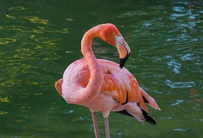 Photograph - Flamingo by Dennis Reagan