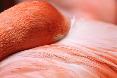 Photograph - Flamingo by Elizabeth Budd