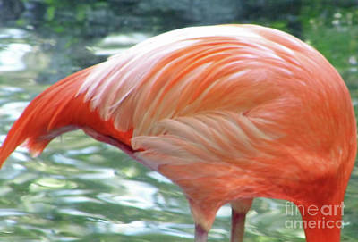 Photograph - Flamingo Feathers by D Hackett
