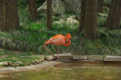 Photograph - Flamingo Figure 8 by Robyn Stacey