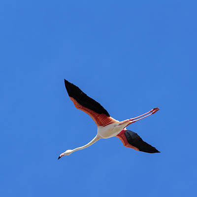 Flamingo Photograph - Flamingo Flight by Claudio Bergero