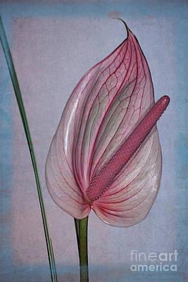 Photograph - Flamingo Flower  5 by Heiko Koehrer-Wagner