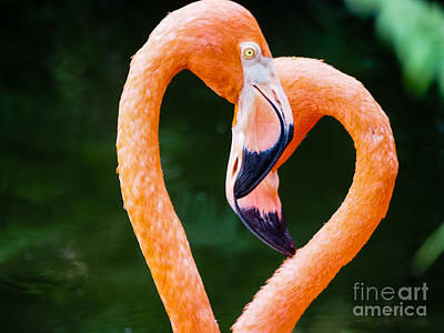Photograph - Flamingo Heart by Robin Zygelman