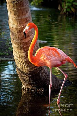 Photograph - Flamingo II by Brian Jannsen