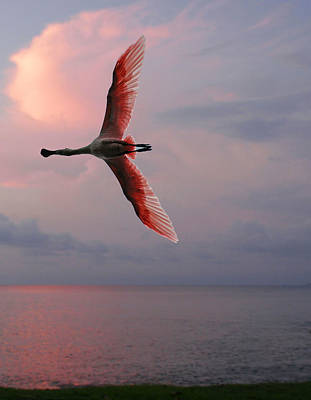 Photograph - Flamingo In Flight by Joel Gilgoff